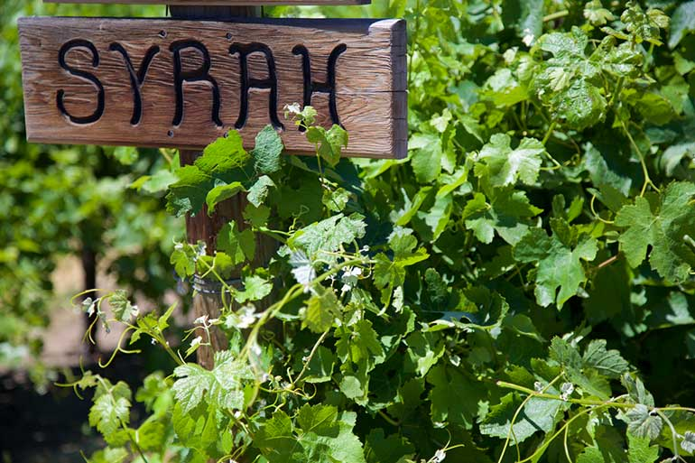 Syrah Sign By Grapevines